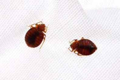Control and prevention of bed-bug