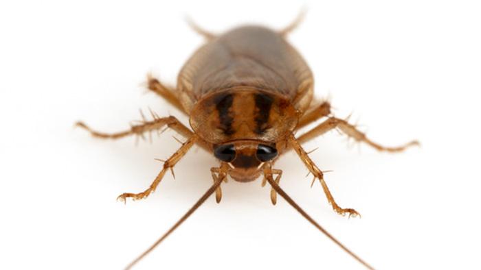 Gian-Duc-German-cockroach