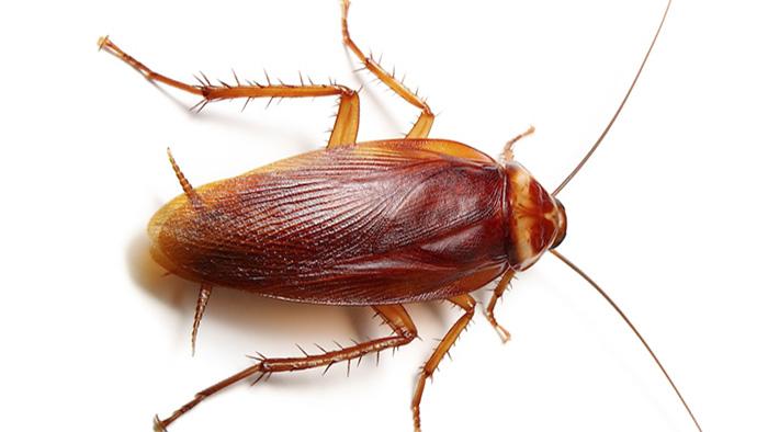 Gian-My-American-cockroach