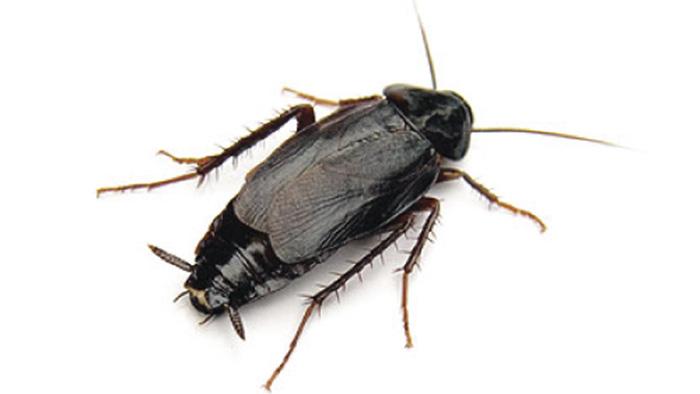 Gian-phuong-dong-Oriental-cockroach